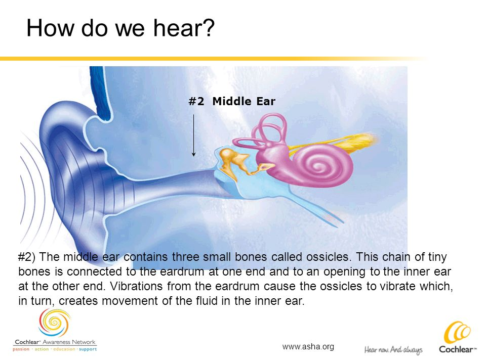 How do we hear? #2 Middle Ear #2) The middle ear contains three small bones called ossicles. This chain of tiny bones is connected to the eardrum at o
