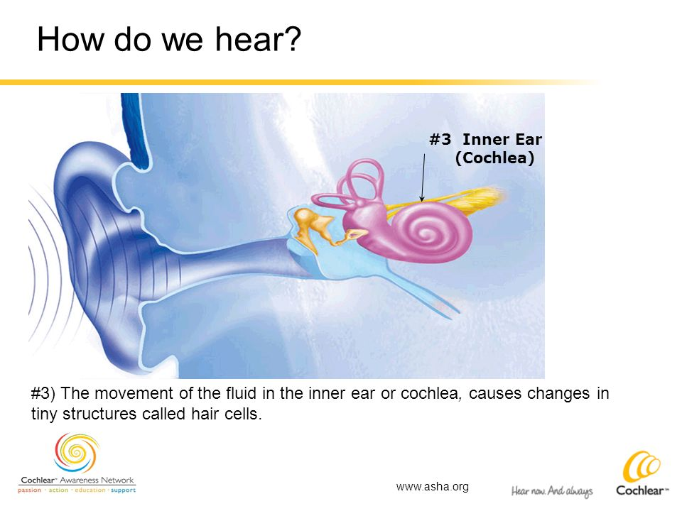 How do we hear? #3 Inner Ear (Cochlea) #3) The movement of the fluid in the inner ear or cochlea, causes changes in tiny structures called hair cells.