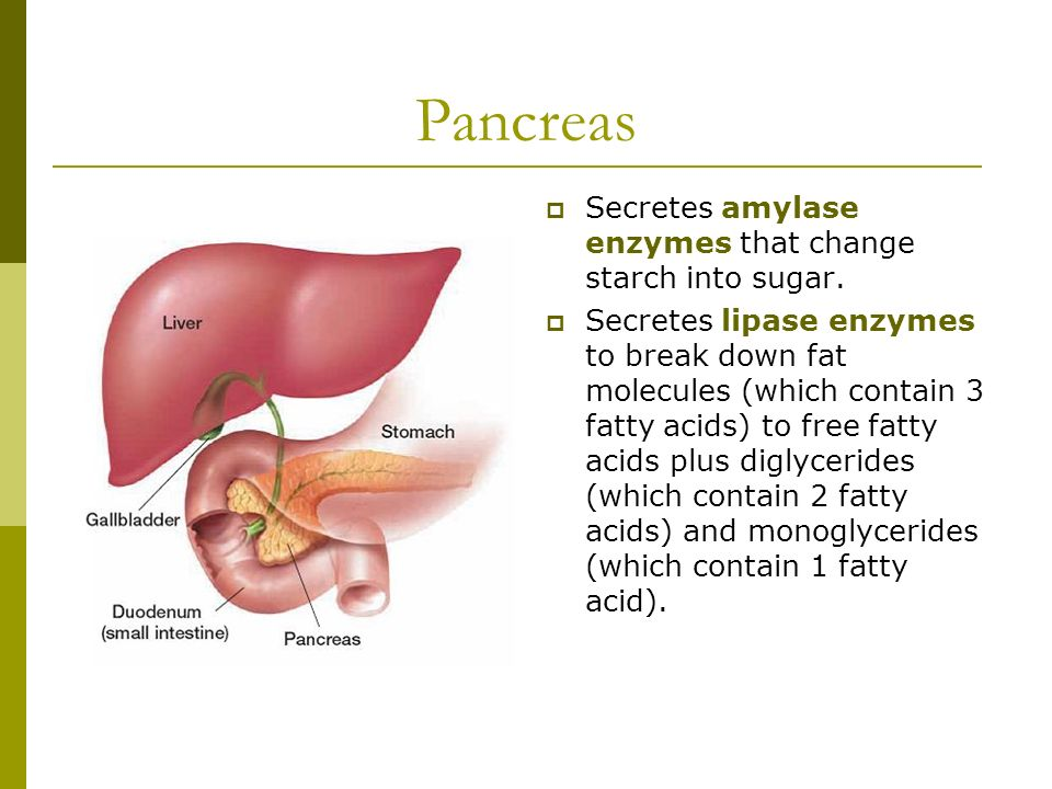 Digestive System in the Human Body Stomach acid and gastric enzymes begin the breakdown of protein