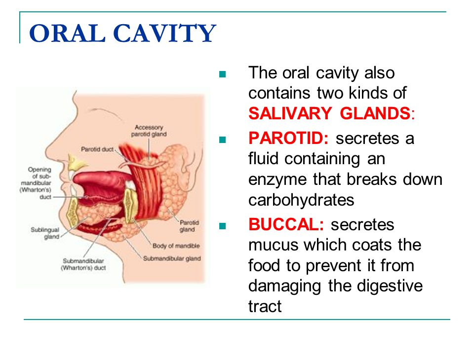 ORAL CAVITY The oral cavity also contains two kinds of SALIVARY GLANDS: PAROTID: secretes a fluid containing an enzyme that breaks down carbohydrates