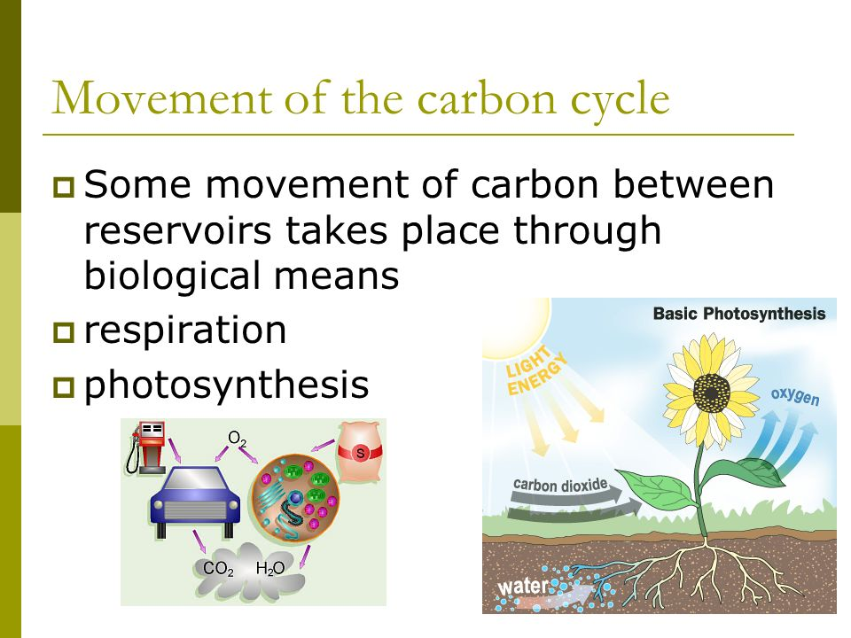 Some movement of carbon between reservoirs takes place through biological means respiration photosynthesis Movement of the carbon cycle