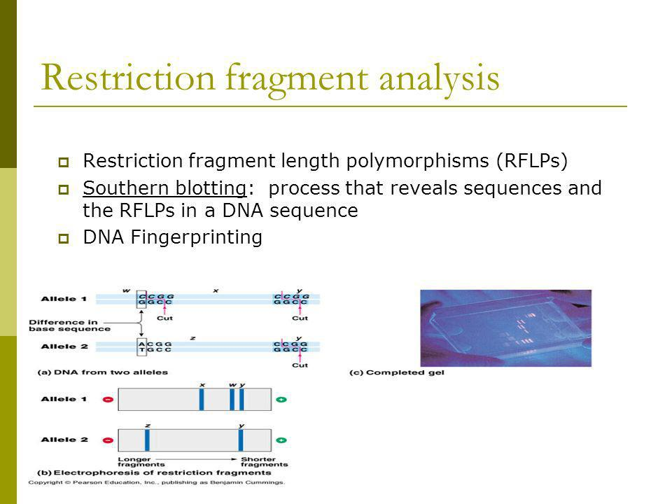 Restriction fragment analysis Restriction fragment length polymorphisms (RFLPs) Southern blotting: process that reveals sequences and the RFLPs in a D