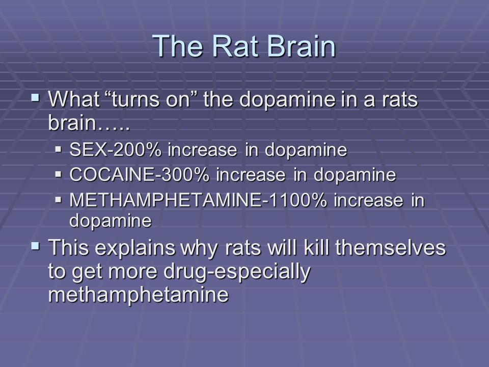 The Rat Brain What turns on the dopamine in a rats brain….. What turns on the dopamine in a rats brain….. SEX-200% increase in dopamine SEX-200% incre