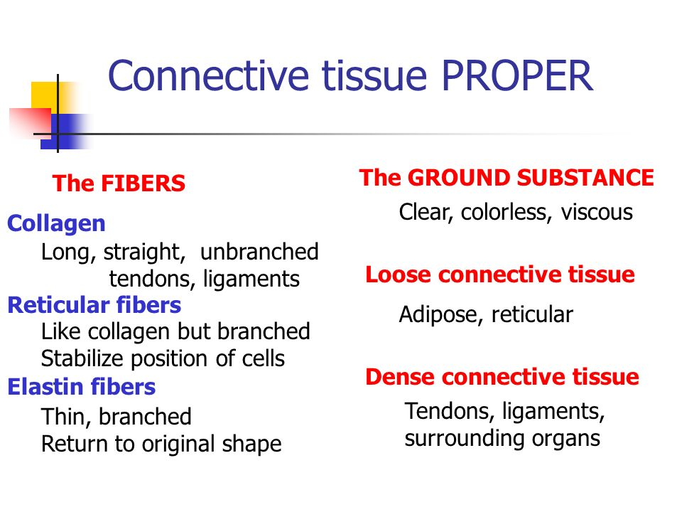 Connective tissue PROPER The FIBERS Collagen Reticular fibers Elastin fibers Long, straight, unbranched tendons, ligaments Like collagen but branched