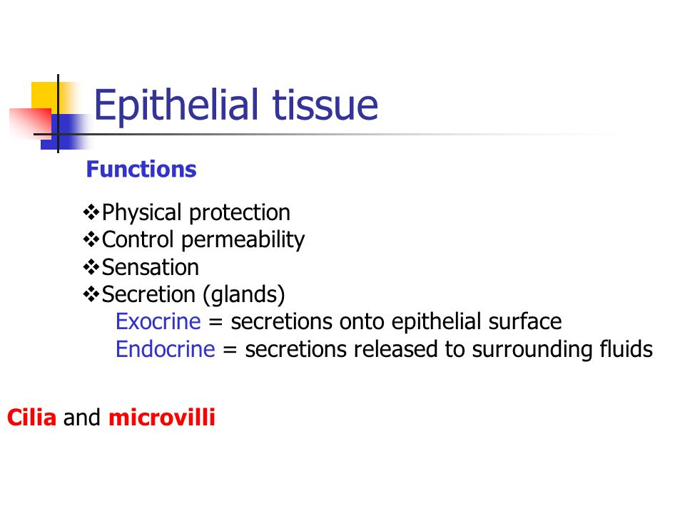 Epithelial tissue Functions Physical protection Control permeability Sensation Secretion (glands) Exocrine = secretions onto epithelial surface Endocr