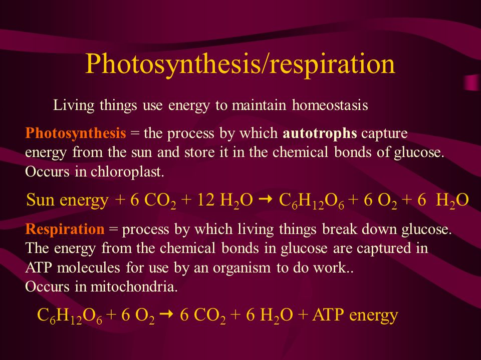 Photosynthesis/respiration Living things use energy to maintain homeostasis Photosynthesis = the process by which autotrophs capture energy from the s