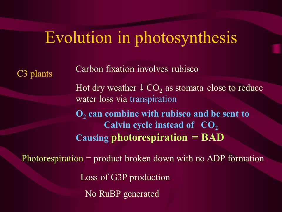 Evolution in photosynthesis C3 plants Carbon fixation involves rubisco Hot dry weather CO 2 as stomata close to reduce water loss via transpiration O