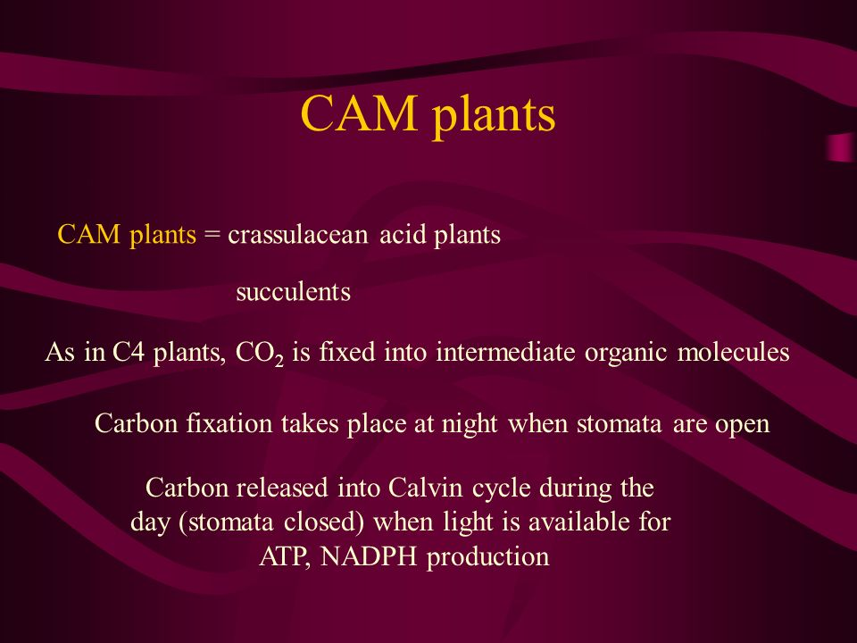 CAM plants CAM plants = crassulacean acid plants succulents As in C4 plants, CO 2 is fixed into intermediate organic molecules Carbon fixation takes p