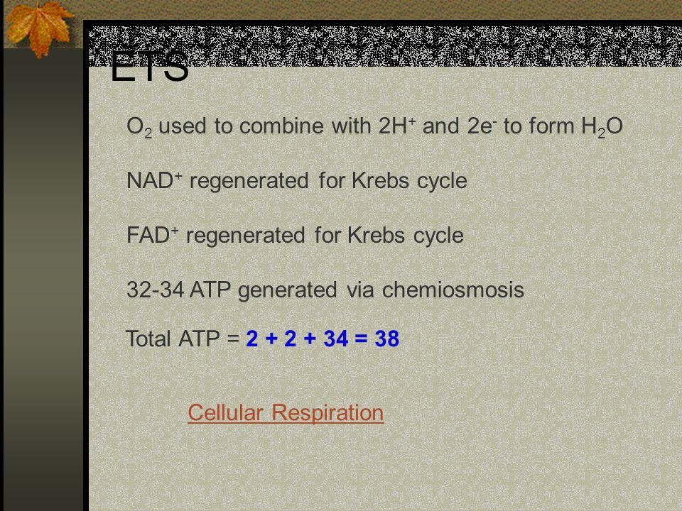 ETS O 2 used to combine with 2H + and 2e - to form H 2 O NAD + regenerated for Krebs cycle FAD + regenerated for Krebs cycle 32-34 ATP generated via c