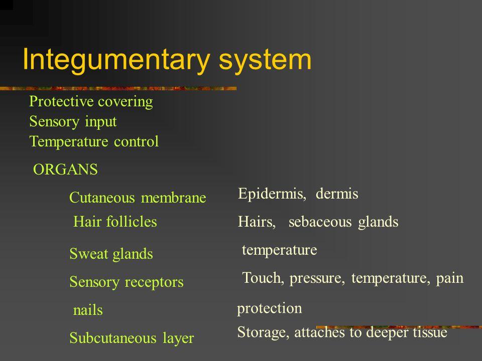 Integumentary system Protective covering Sensory input Temperature control ORGANS Cutaneous membrane Epidermis, dermis Hair folliclesHairs, sebaceous