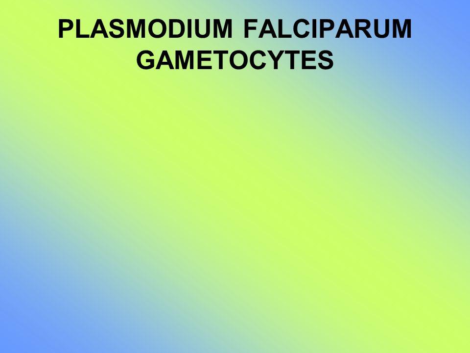 PLASMODIUM FALCIPARUM GAMETOCYTES