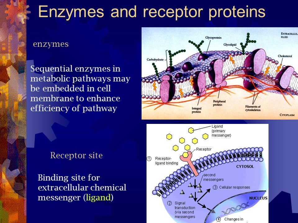 Enzymes and receptor proteins enzymes Sequential enzymes in metabolic pathways may be embedded in cell membrane to enhance efficiency of pathway Recep