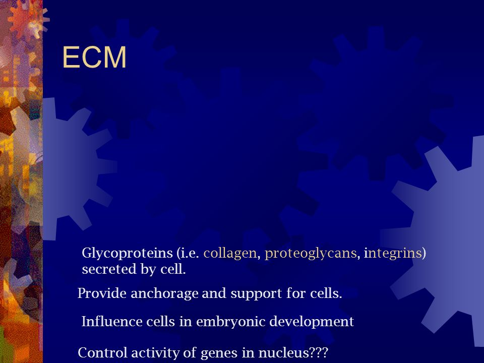 ECM Glycoproteins (i.e. collagen, proteoglycans, integrins) secreted by cell. Provide anchorage and support for cells. Influence cells in embryonic de
