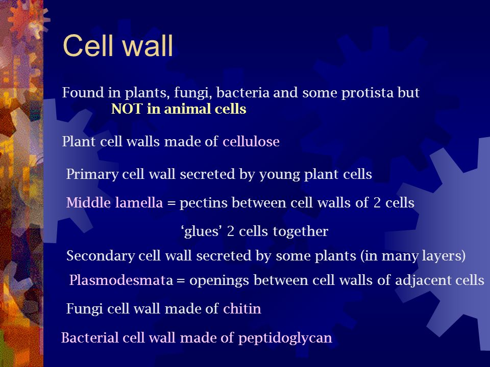 Cell wall Found in plants, fungi, bacteria and some protista but NOT in animal cells Plant cell walls made of cellulose Primary cell wall secreted by