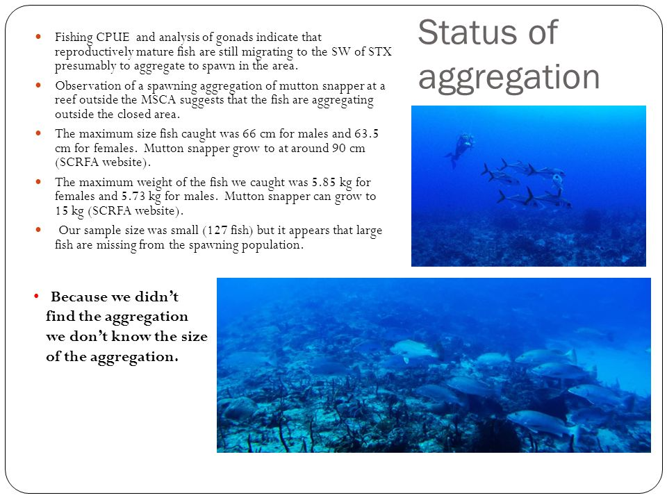 Status of aggregation Fishing CPUE and analysis of gonads indicate that reproductively mature fish are still migrating to the SW of STX presumably to