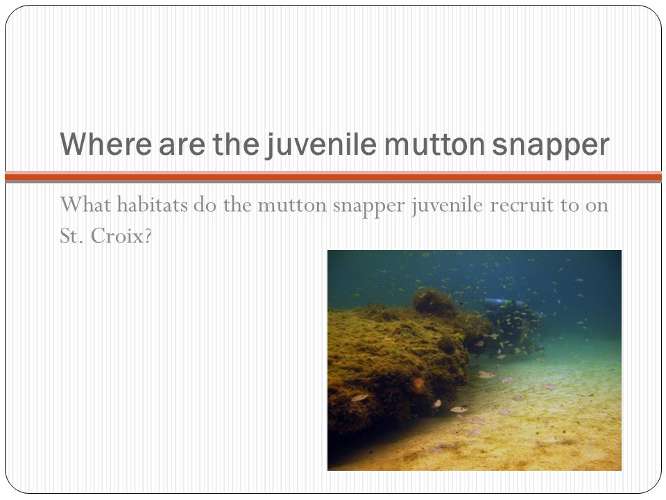 Where are the juvenile mutton snapper What habitats do the mutton snapper juvenile recruit to on St. Croix?