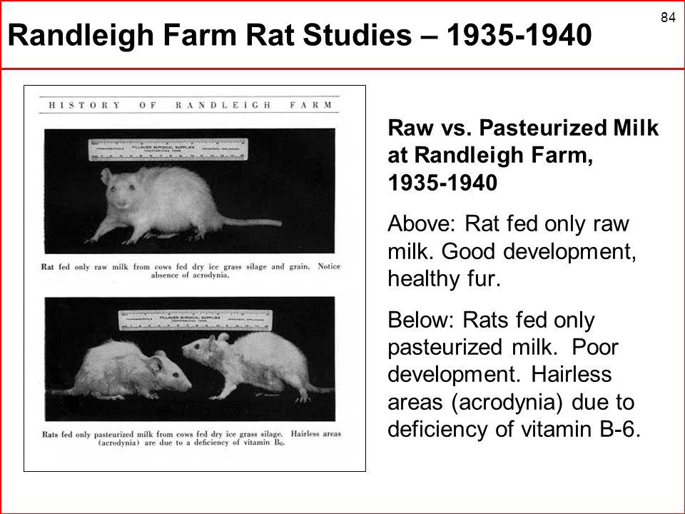 84 Randleigh Farm Rat Studies – 1935-1940 Raw vs. Pasteurized Milk at Randleigh Farm, 1935-1940 Above: Rat fed only raw milk. Good development, health