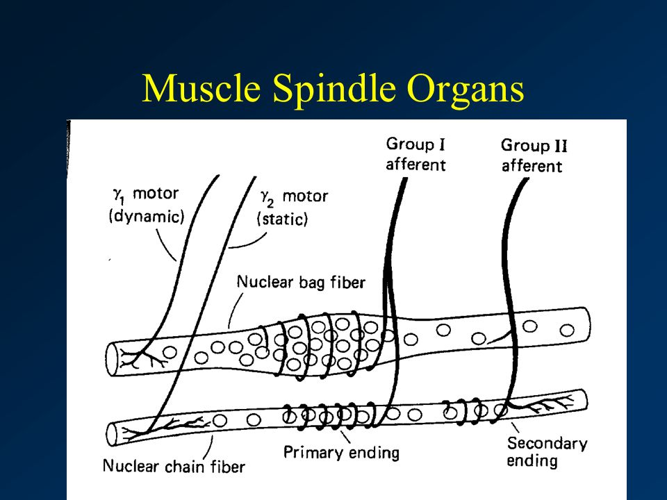 Clarkson University Master of Physical Therapy Program Muscle Spindle Organs