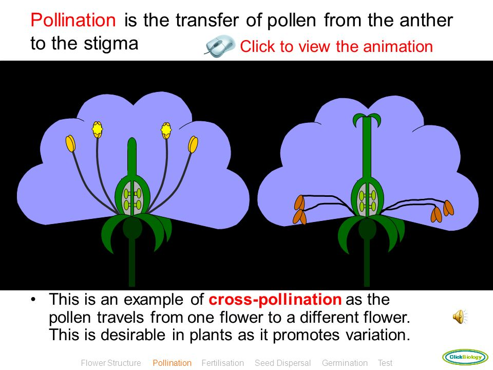 Pollination The pollen grain contains the male sex cell (gamete) Flower Structure Pollination Fertilisation Seed Dispersal Germination Test
