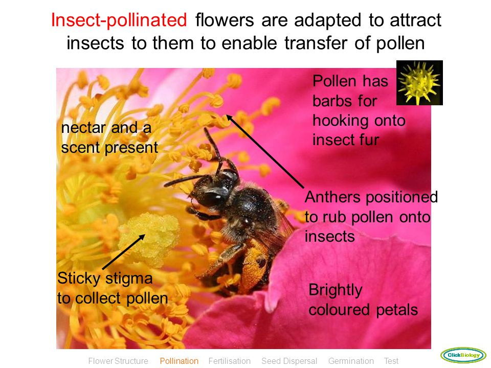 Pollen can be carried between flowers by insects or by wind Use the information in the next two slides to complete the table comparing the adaptations