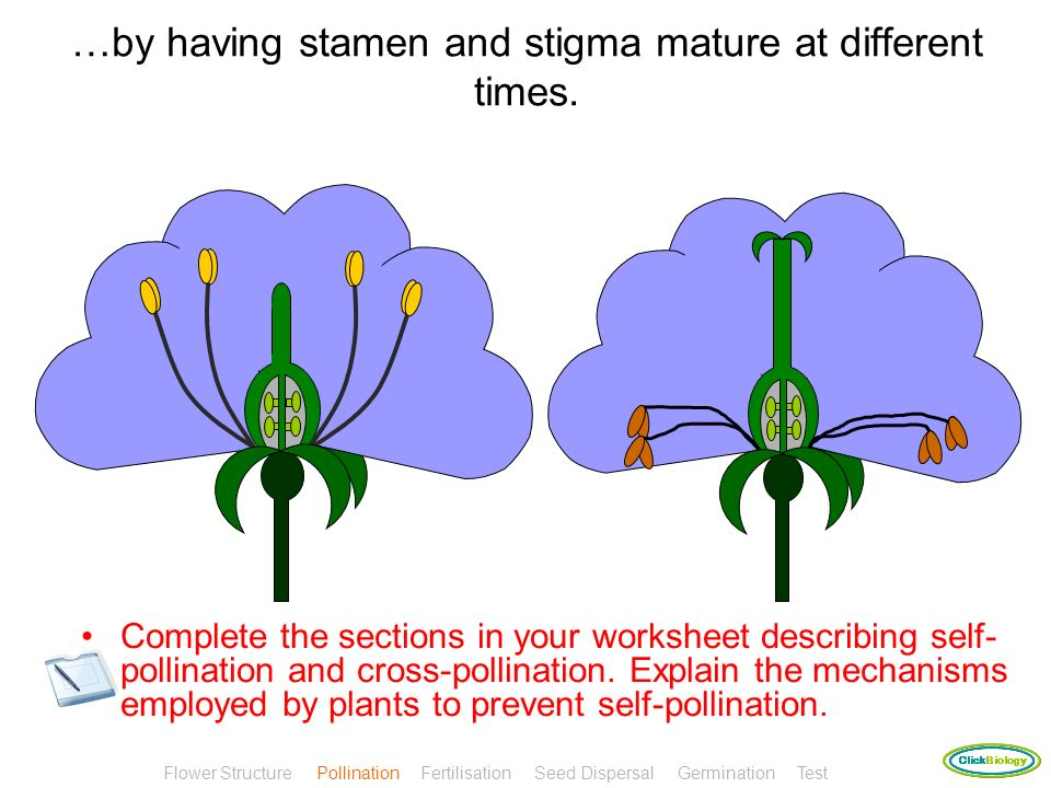 Flowers will prevent self-pollination by either having stigma above stamen or… Flower Structure Pollination Fertilisation Seed Dispersal Germination T