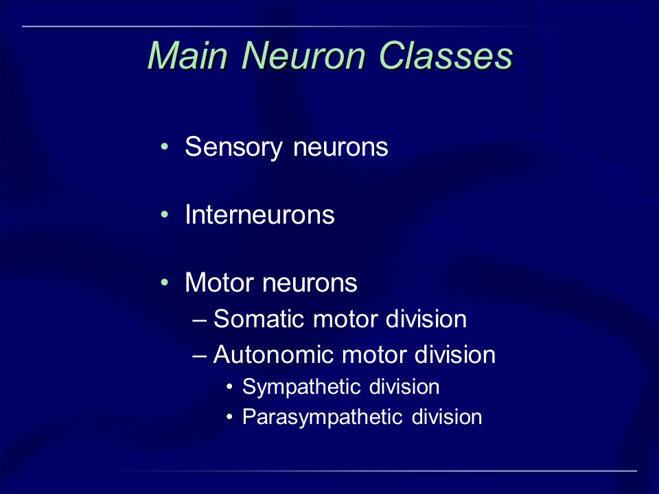 Main Neuron Classes Sensory neurons Interneurons Motor neurons –Somatic motor division –Autonomic motor division Sympathetic division Parasympathetic