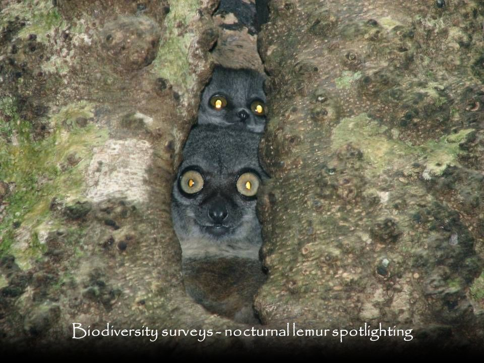 Biodiversity surveys - nocturnal lemur spotlighting
