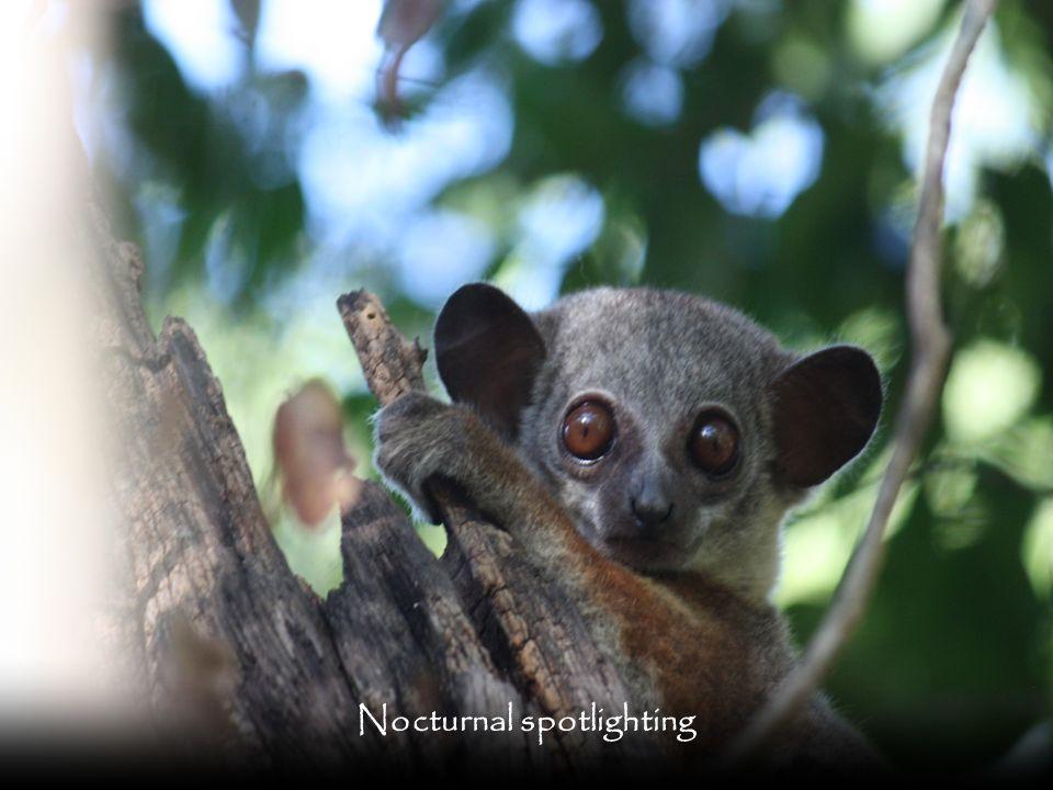 Nocturnal spotlighting