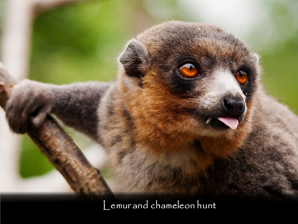 Lemur and chameleon hunt