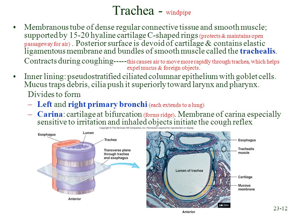 23-12 Trachea - windpipe Membranous tube of dense regular connective tissue and smooth muscle; supported by 15-20 hyaline cartilage C-shaped rings (pr