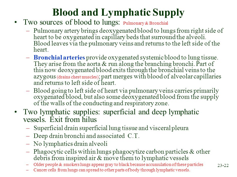23-22 Blood and Lymphatic Supply Two sources of blood to lungs: Pulmonary & Bronchial –Pulmonary artery brings deoxygenated blood to lungs from right