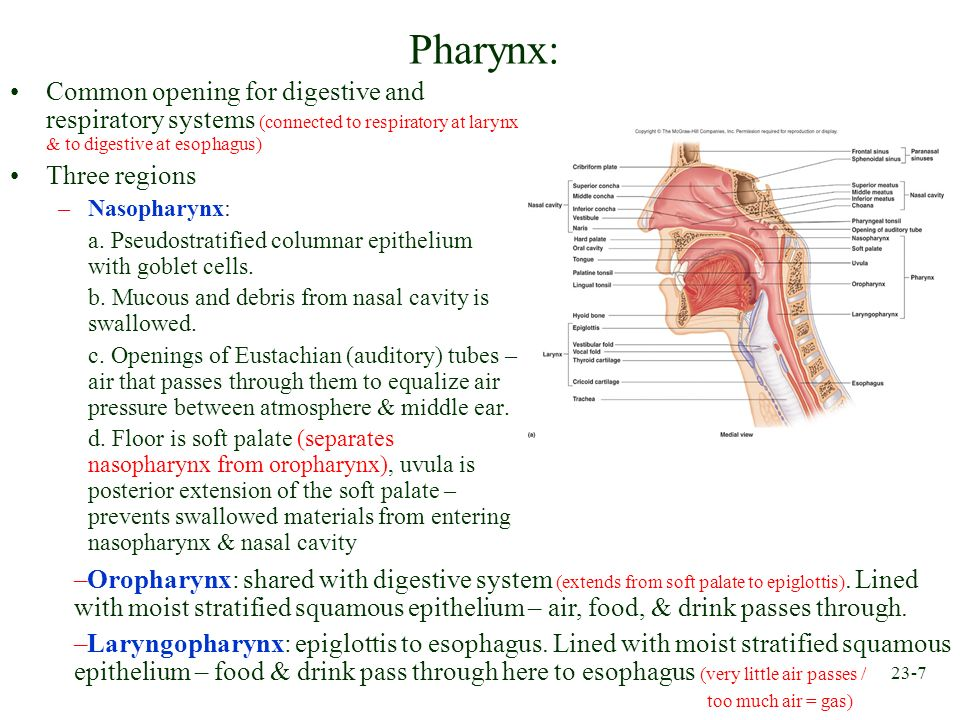 23-7 Pharynx: Common opening for digestive and respiratory systems (connected to respiratory at larynx & to digestive at esophagus) Three regions –Nas