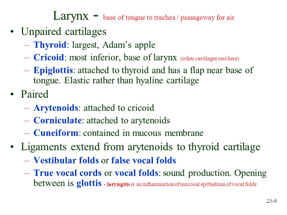 23-9 Larynx - base of tongue to trachea / passageway for air Unpaired cartilages –Thyroid: largest, Adams apple –Cricoid: most inferior, base of laryn