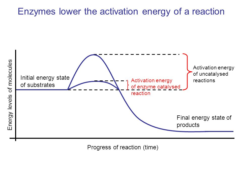 Enzymes lower activation energy by forming an enzyme/substrate complex Substrate + Enzyme Enzyme/substrate complex Enzyme/product complex Product + Enzyme
