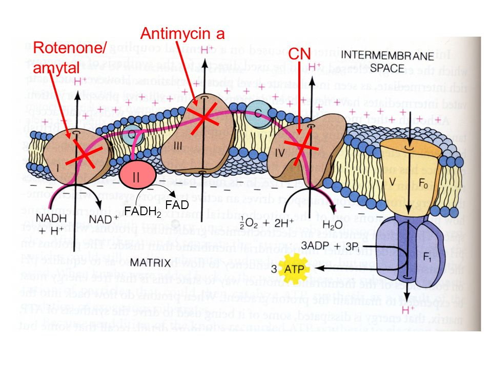 FADH 2 FAD Rotenone/ amytal Antimycin a CN