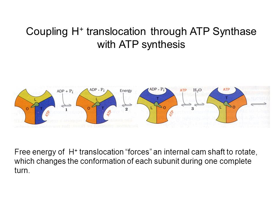 Coupling H + translocation through ATP Synthase with ATP synthesis Free energy of H + translocation forces an internal cam shaft to rotate, which chan