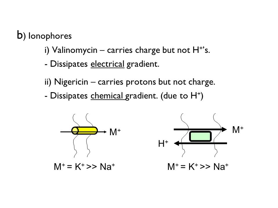 b ) Ionophores i) Valinomycin – carries charge but not H + s. - Dissipates electrical gradient. ii) Nigericin – carries protons but not charge. - Diss