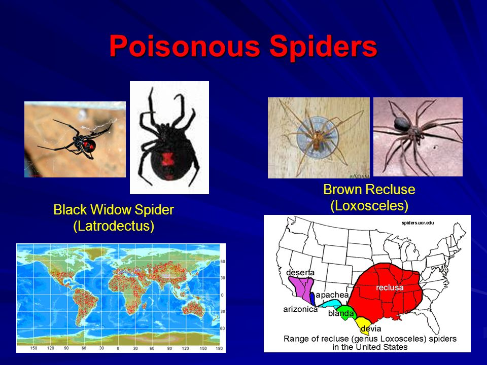 Poisonous Spiders Black Widow Spider (Latrodectus) Brown Recluse (Loxosceles)