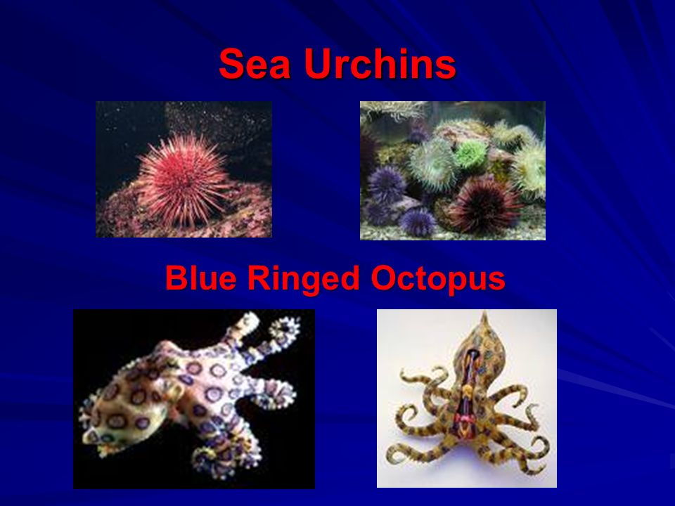 Sea Urchins Blue Ringed Octopus