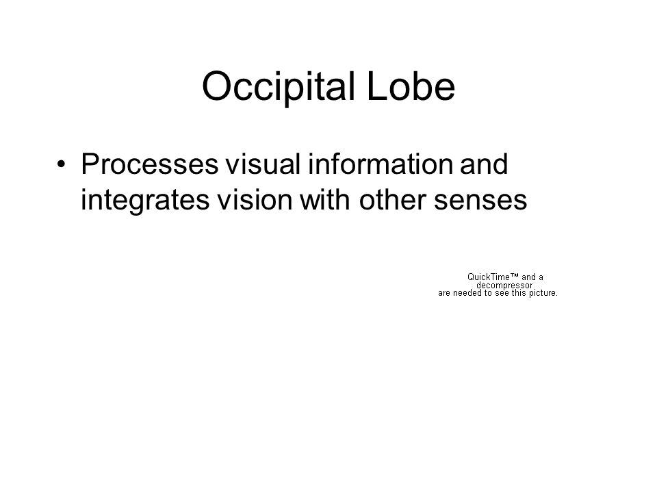 Occipital Lobe Processes visual information and integrates vision with other senses