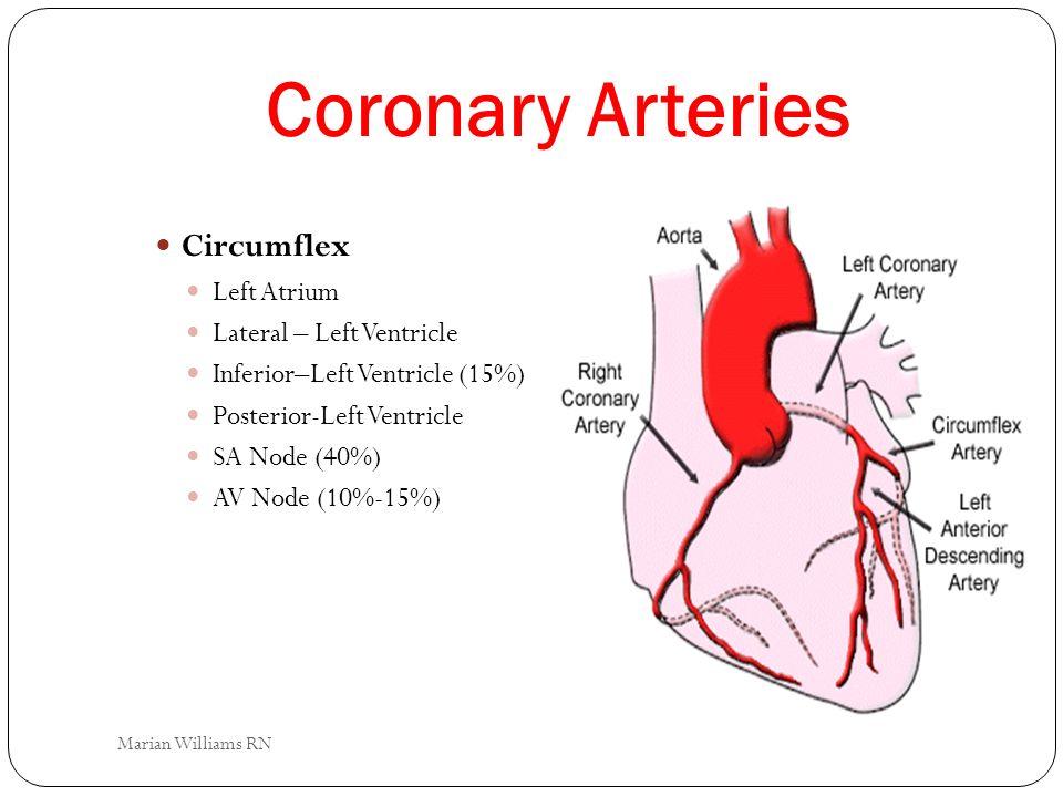 Coronary Arteries Circumflex Left Atrium Lateral – Left Ventricle Inferior–Left Ventricle (15%) Posterior-Left Ventricle SA Node (40%) AV Node (10%-15