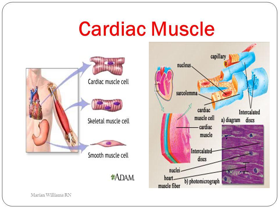 Cardiac Muscle Marian Williams RN