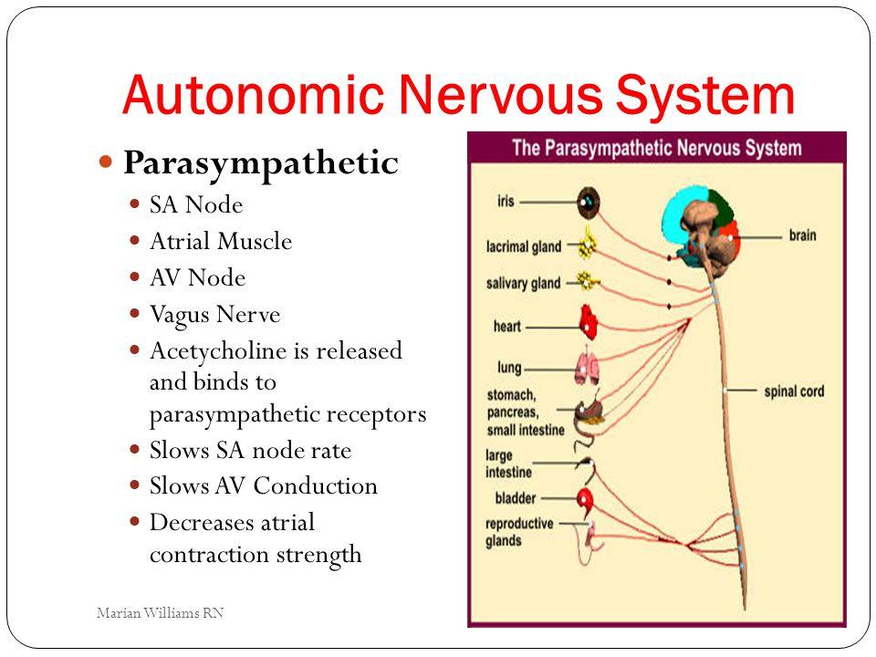 Autonomic Nervous System Parasympathetic SA Node Atrial Muscle AV Node Vagus Nerve Acetycholine is released and binds to parasympathetic receptors Slo