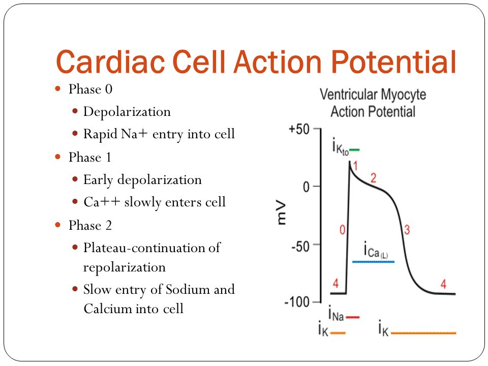 Cardiac Cell Action Potential Phase 0 Depolarization Rapid Na+ entry into cell Phase 1 Early depolarization Ca++ slowly enters cell Phase 2 Plateau-co