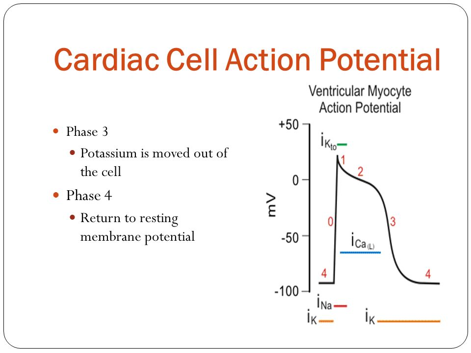Cardiac Cell Action Potential Phase 3 Potassium is moved out of the cell Phase 4 Return to resting membrane potential