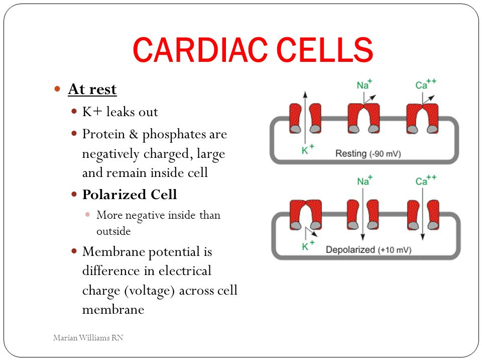 CARDIAC CELLS At rest K+ leaks out Protein & phosphates are negatively charged, large and remain inside cell Polarized Cell More negative inside than