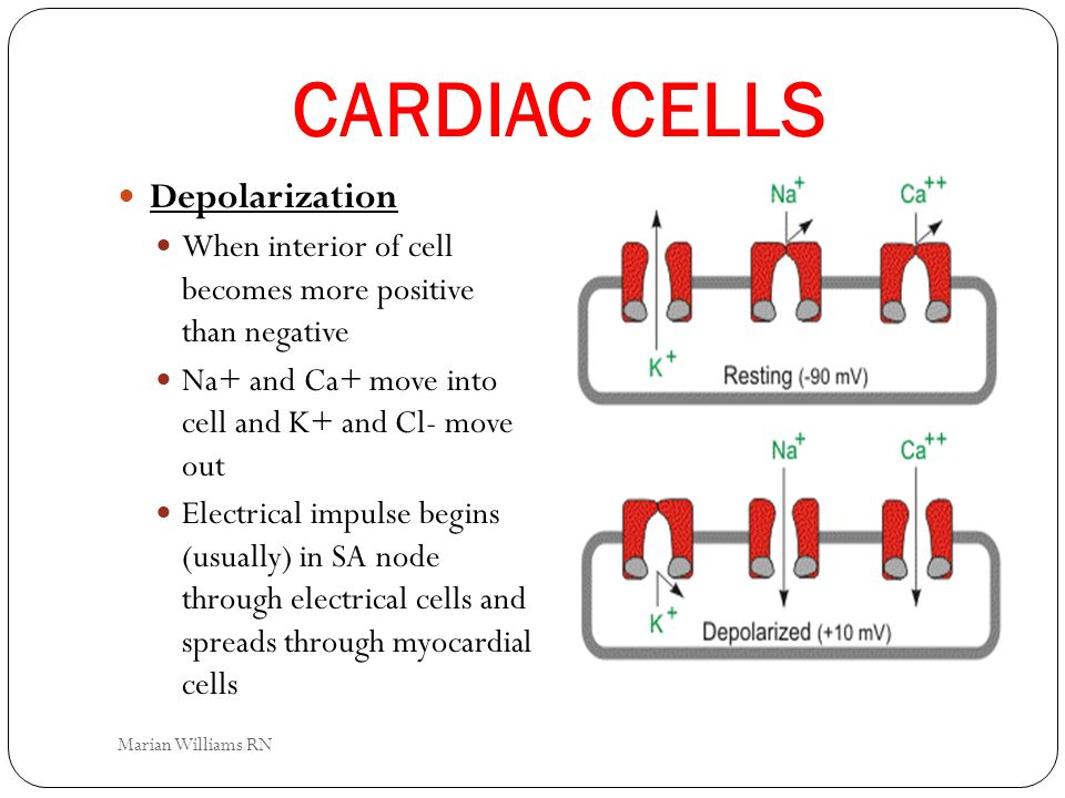 CARDIAC CELLS Depolarization When interior of cell becomes more positive than negative Na+ and Ca+ move into cell and K+ and Cl- move out Electrical i