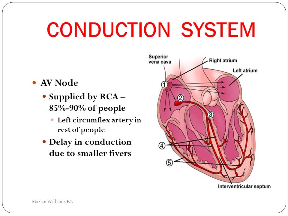 CONDUCTION SYSTEM AV Node Supplied by RCA – 85%-90% of people Left circumflex artery in rest of people Delay in conduction due to smaller fivers Maria