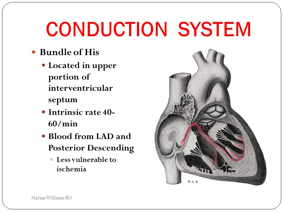 CONDUCTION SYSTEM Bundle of His Located in upper portion of interventricular septum Intrinsic rate 40- 60/min Blood from LAD and Posterior Descending