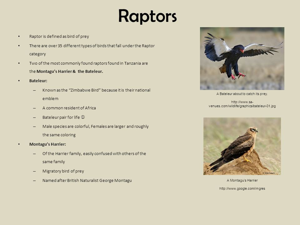 Raptors Raptor is defined as bird of prey There are over 35 different types of birds that fall under the Raptor category Two of the most commonly found raptors found in Tanzania are the Montagus Harrier & the Bateleur.